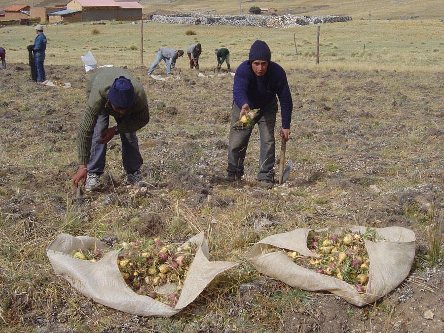 Récolte de la maca, juin 2007