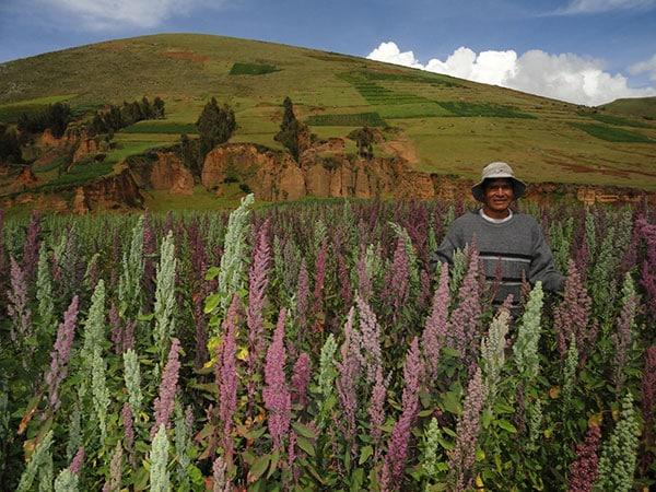 Un producteur de Quinoa dans son Champ