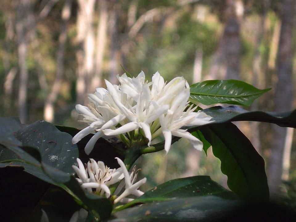 La fleur du caféier
