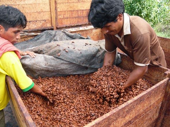 Le cacao a fini sa fermentation