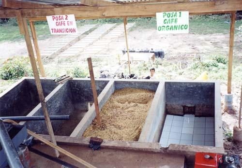 Grains de café dans le bassin de fermentation