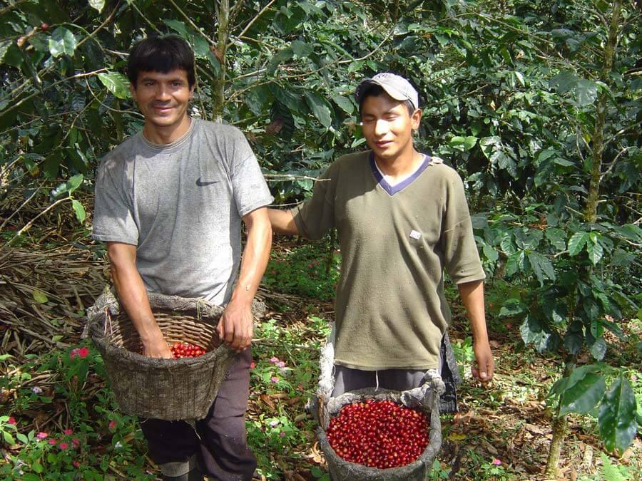 Guido et son frère pendant la récolte du café