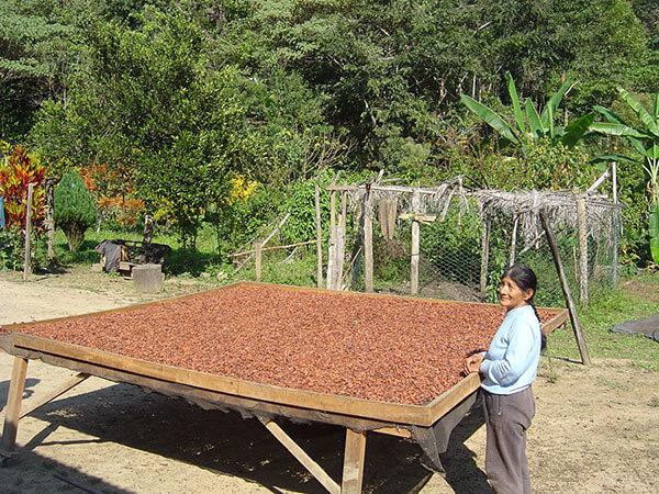 Le séchage du cacao sur des tamis